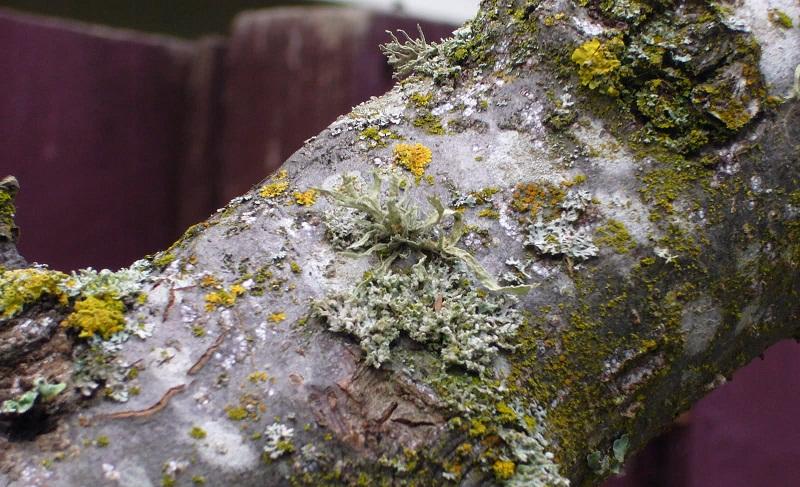 Як позбутися від моху та лишаю на плодових деревах?