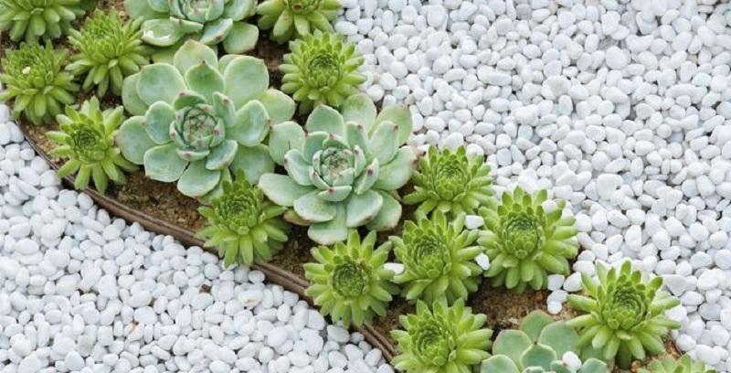 Молодило: вирощування та догляд