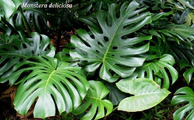 monstera_deliciosa_filodendron.jpg (195.42 Kb)