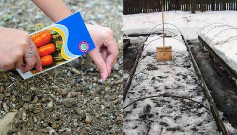 Як та коли сіяти моркву під зиму
