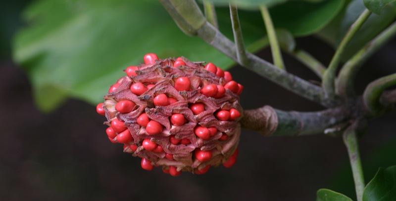 nasinnya_magnolii.jpg (76.8 Kb)