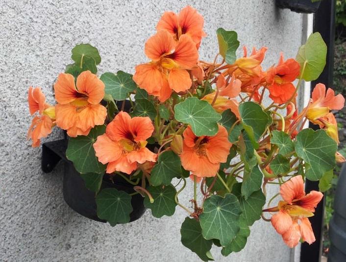Вирощування настурції на балконі