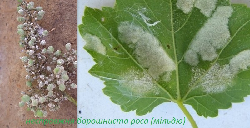 Мілдью (несправжня борошниста роса) винограду