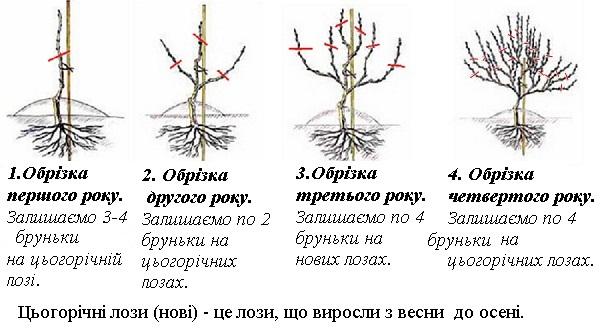 obrizannya_molodogo_vinogradu1.jpg (78.45 Kb)