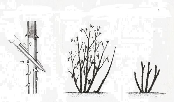 obrizka-troyandi.jpg (26.2 Kb)