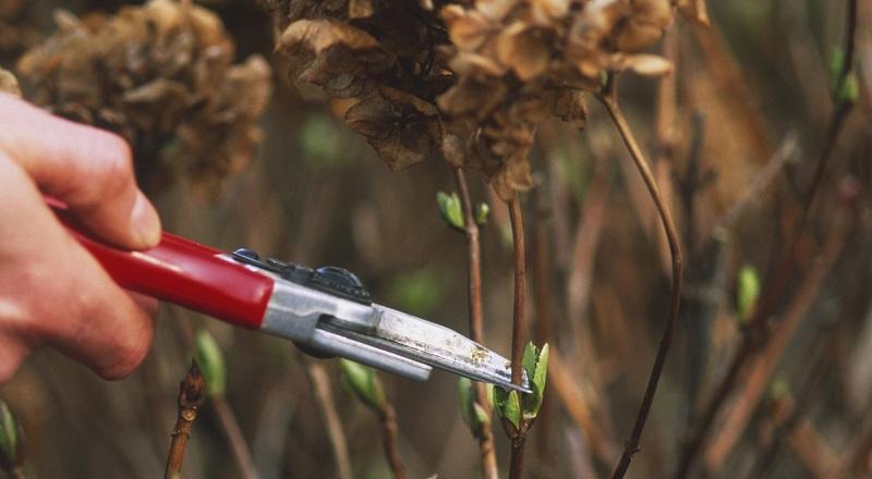 Як обрізати гортензію восени