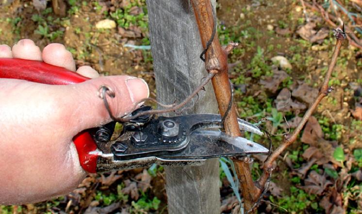 Як та коли обрізати виноград восени