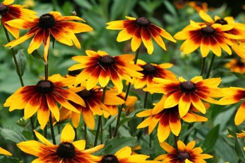 Рудбекія - осінні квіти