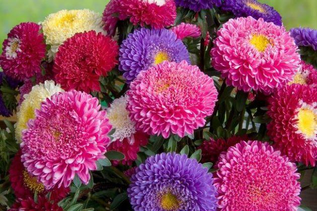 Айстри - осінні квіти