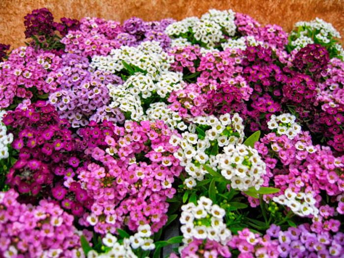 Аліссум - осінні квіти