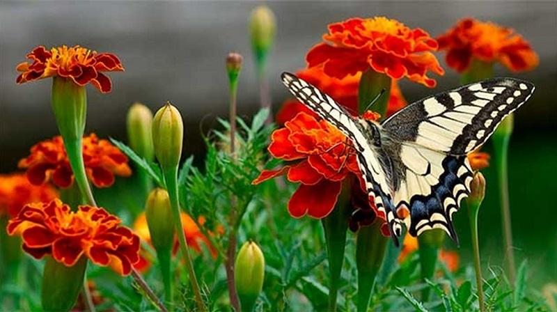 Чорнобривці - осінні квіти
