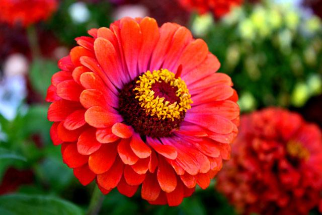 Цинія - осінні квіти