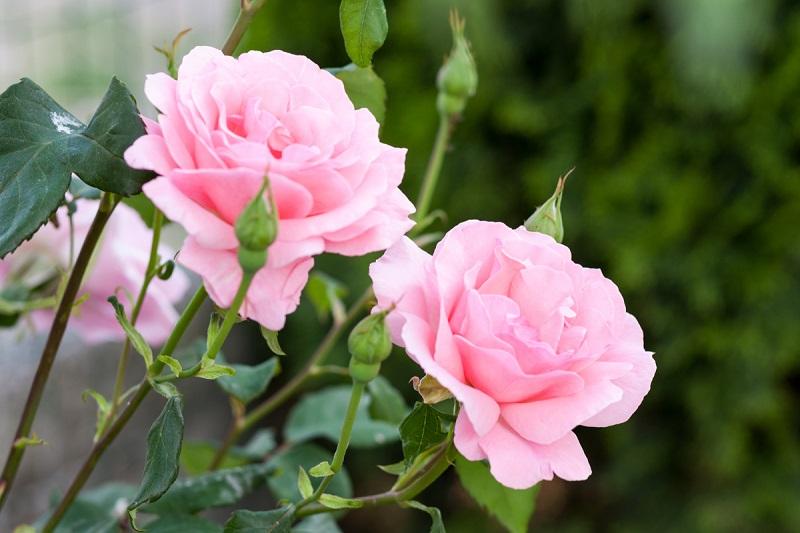 Троянда - осінні квіти