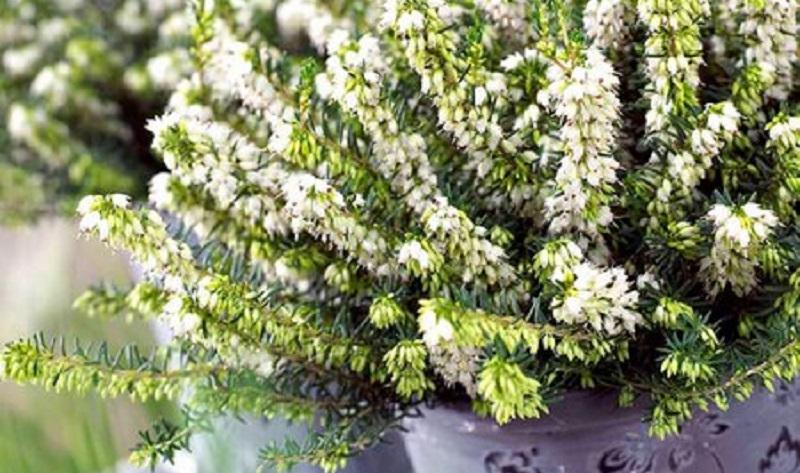 Верес - осінні квіти