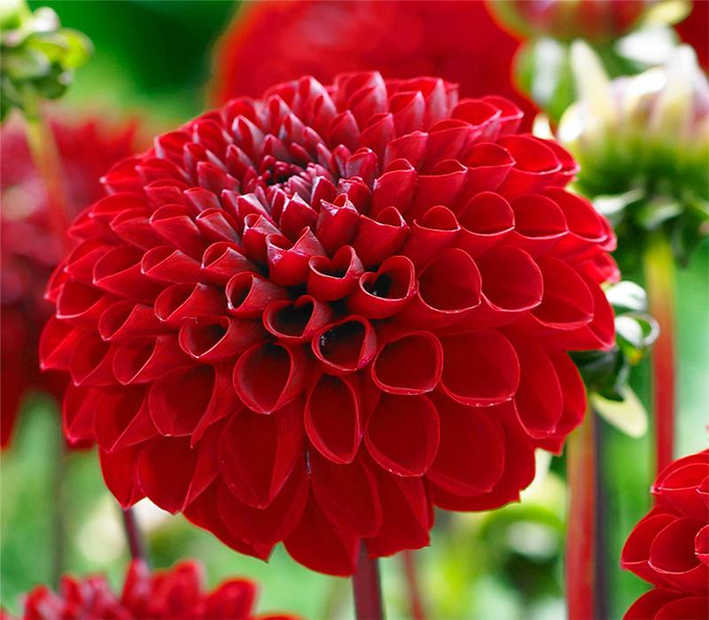 Жоржина - осінні квіти