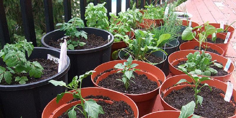 Які овочі можна вирощувати в контейнерах