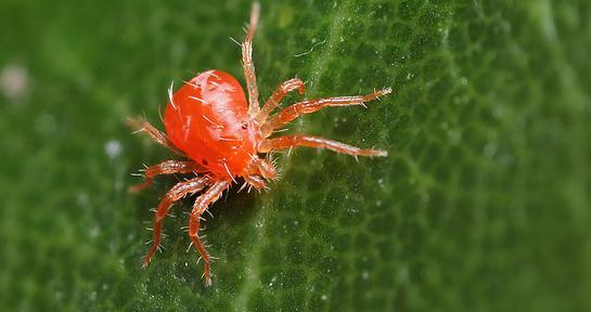 Павутинний кліщ - причини появи та методи боротьби