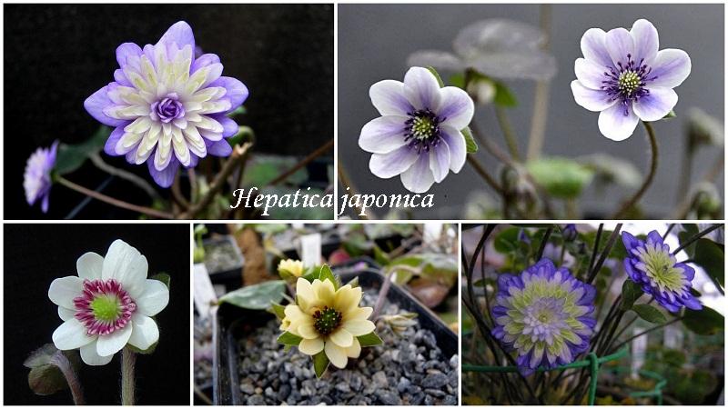 pechinochnicya_hepatica_japonica.jpg (138.86 Kb)