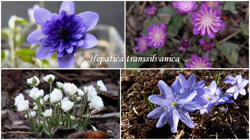 pechinochnicyahepatica_transsilvanica.jpg (163.18 Kb)