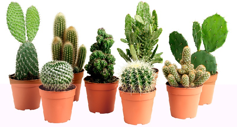 pestelni_kaktusi.jpg (138.64 Kb)