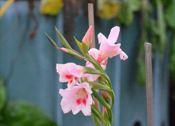 pidvyazuvannya_gladiolusa.jpg (123.27 Kb)