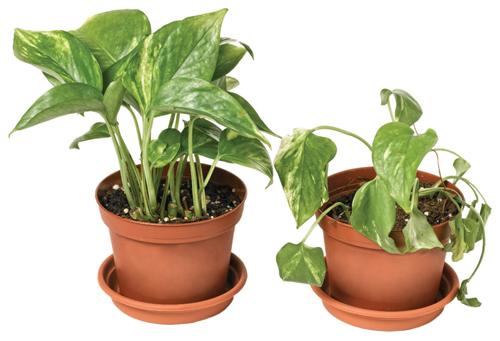 Ознаки неправильного догляду кімнатних рослин