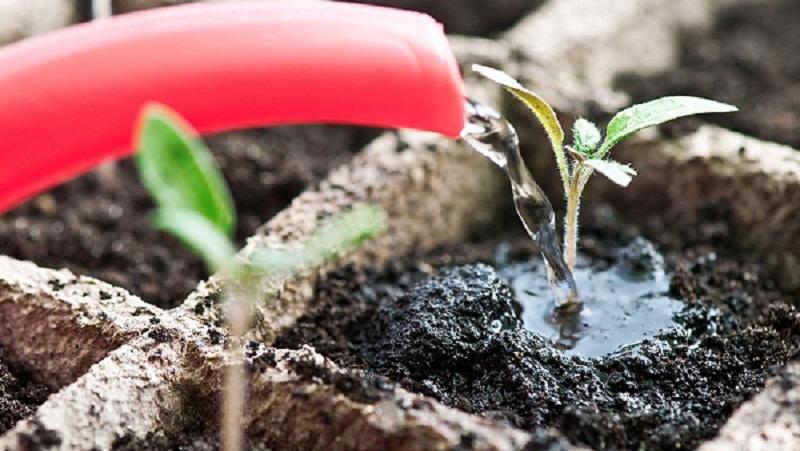 Помилки садівників при вирощуванні розсади