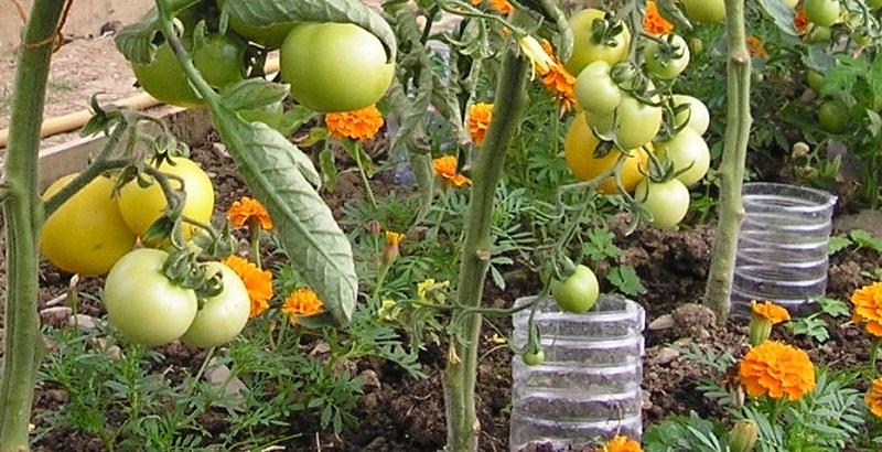 Як доглядати за томатами в серпні
