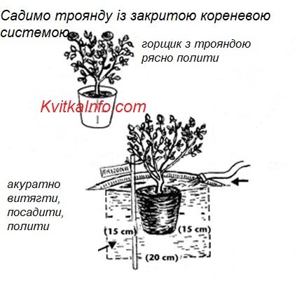 posadka_troyandi_u_gorsziku.jpg (75.59 Kb)