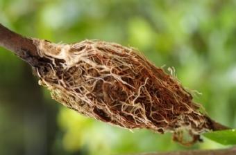 Вегетативне розмноження: розмноження повітряними відводками