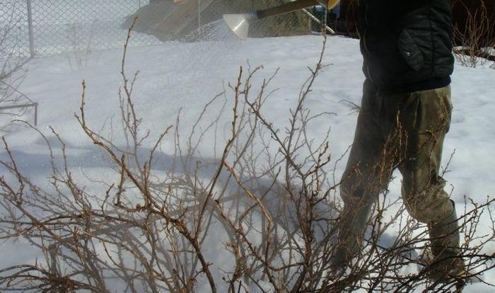 Пропарювання кущів смородини та аґрусу