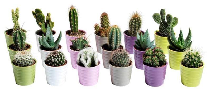 Кактус Пустельні кактуси - догляд