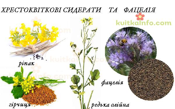 roslini_siderati_hrestokvitkovi_kopiya.jpg (216.35 Kb)