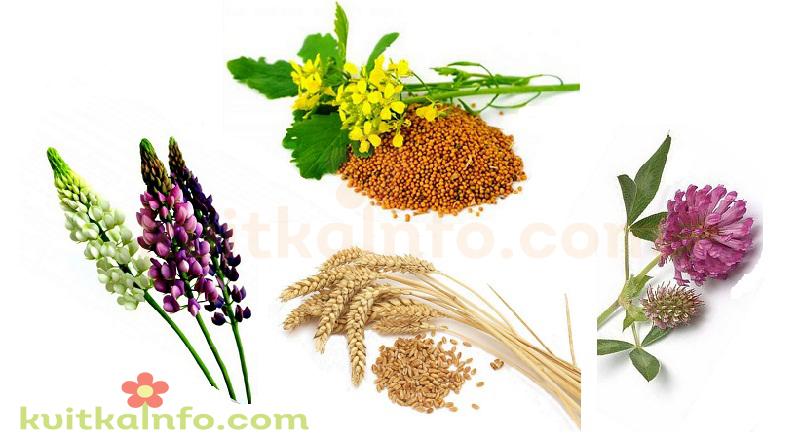Рослини-сидерати - натуральні мінеральні добрива