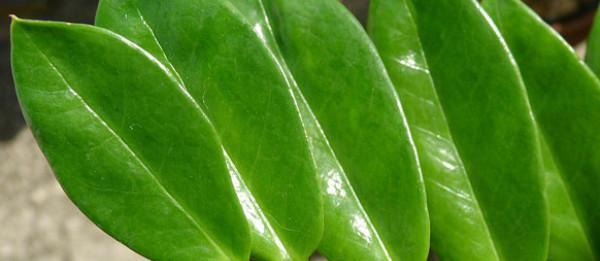 Вегетативне розмноження: розмноження рослин листям