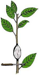 rozmnozhennya-povitryanimi-vidvodkami8.jpg (9.98 Kb)