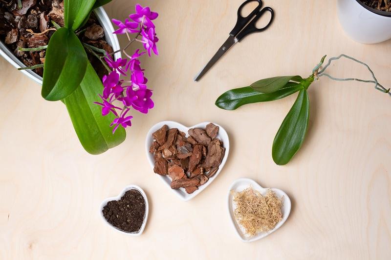 Розмноження орхідеї Фаленопсис
