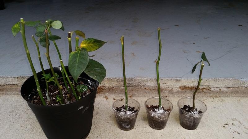 Як розмножувати троянди живцями
