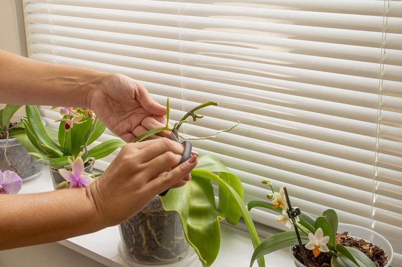 розмноження орхідеї дітками