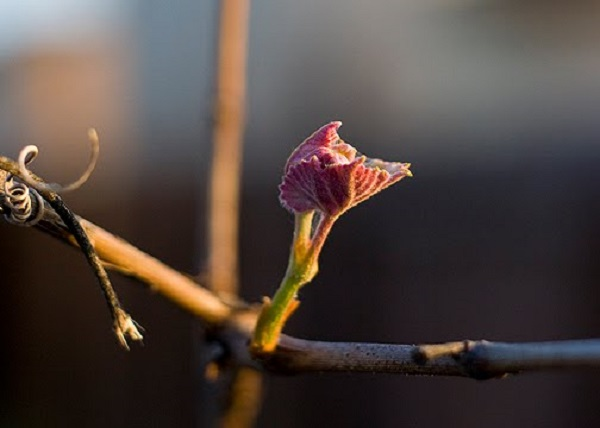 Розмноження винограду живцями