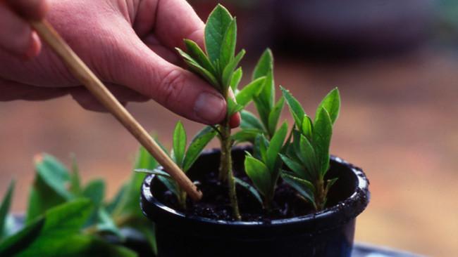 Вегетативне розмноження: розмноження рослин живцями