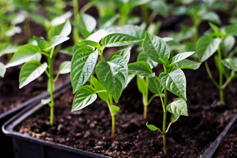Коли висаджувати розсаду перцю у теплицю, відкритий грунт в 2021 році