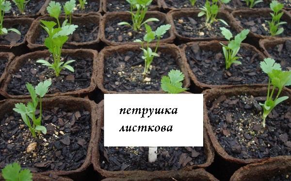 rozsada_petrushki.jpg (114.16 Kb)