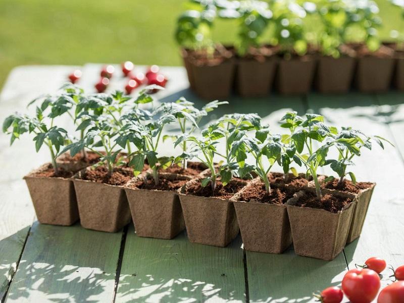 Коли висаджувати помідори у теплицю, відкритий грунт в 2021 році