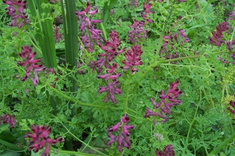 Рутка лікарська (Fumaria officinalis)