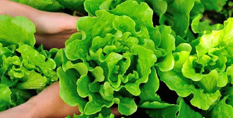 Коли сіяти салат, руколу, шпинат. Вирощування та догляд
