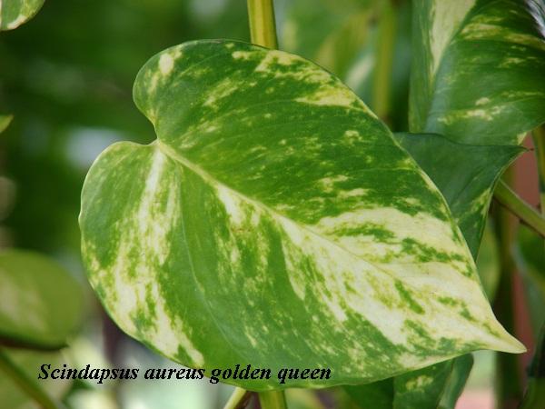 scindapsus_aureus_golden_queen.jpg (98.47 Kb)