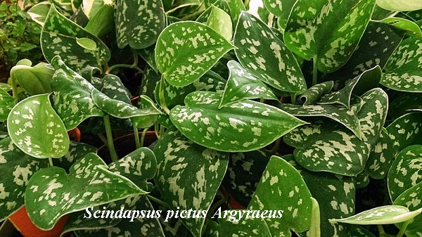 scindapsus_pictus_argyraeus.jpg (133.18 Kb)