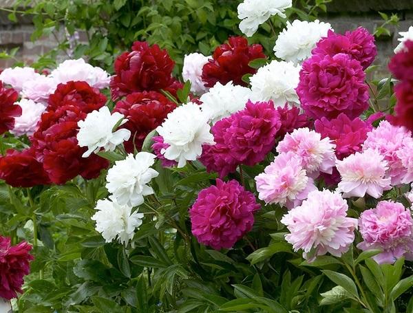 Секрети пишного цвітіння півонії