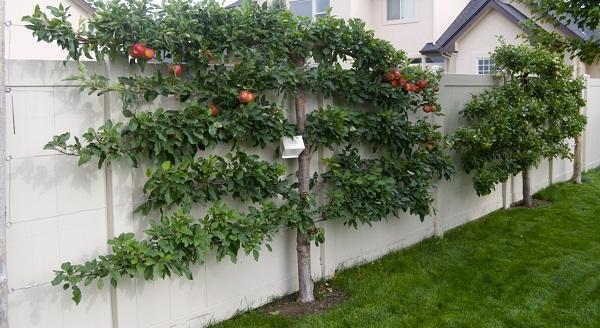 Що таке шпалерні дерева та як їх доглядати